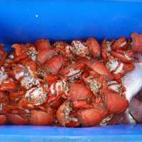 spanner crabs from crabbing charter